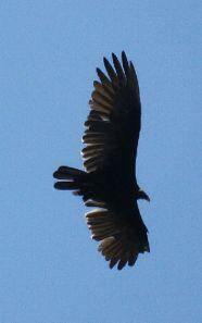 ave urubu cabeça vermelha 2