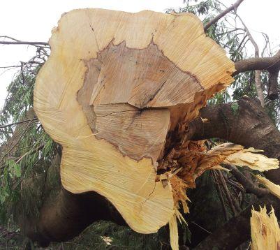 A dimensão do diâmetro dos troncos das árvores da noção do tamanha da agressão protagonizada pelo GDF.
