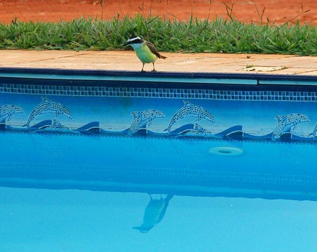 ave Bem te vi com relfexo na piscina