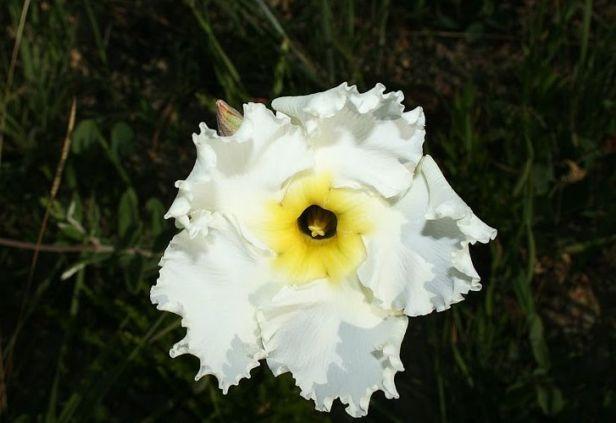 flor Velame Branco