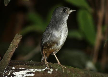 Tapaculo registrado por Jonatas Rocha, na Floresta Nacional.