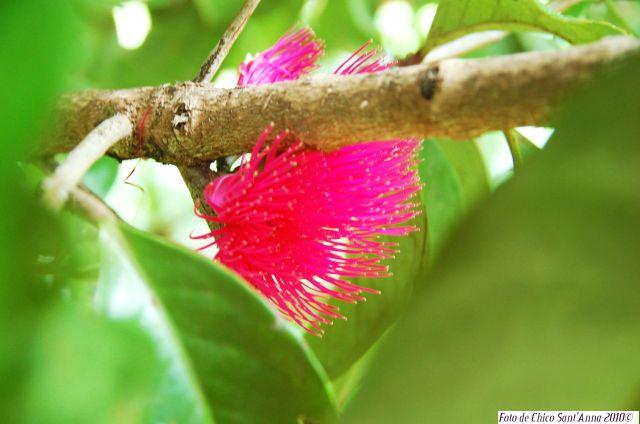 Flor de Jambo 2 com crédito