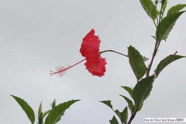 Primavera 2008  - Flor de ibiscocom credito