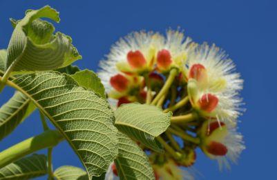 Flor do pequi 3 menor
