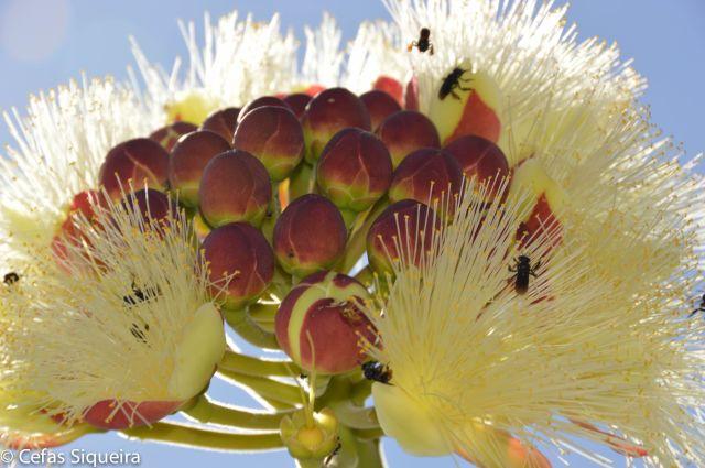 Flor do pequi 5 menor