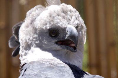 ave hárpia Cruvinel