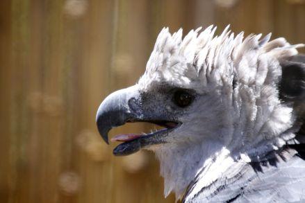ave hárpia Cruvinel2