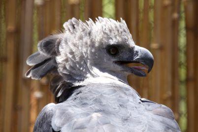 ave hárpia Cruvinel3