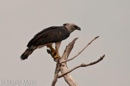 ave hárpia Margi Moss2