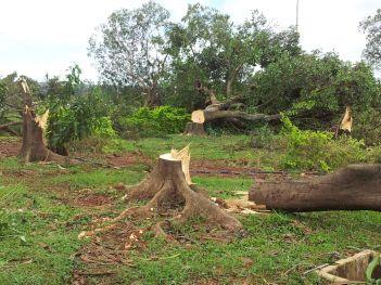 Árvores cinquentenárias foramderrubadas com motosserra.