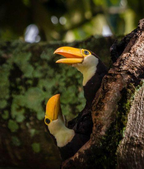 Filhotes de Tucanos foram avistados na Asa Norte. Foto de Herbert Schubart
