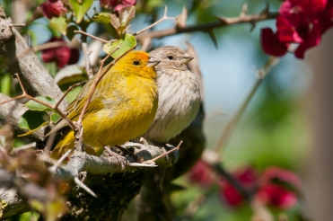 Canário-da-terra-verdadeiroSicalis flaveolaSaffron Finch