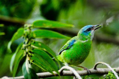 Saíra azul fêmea