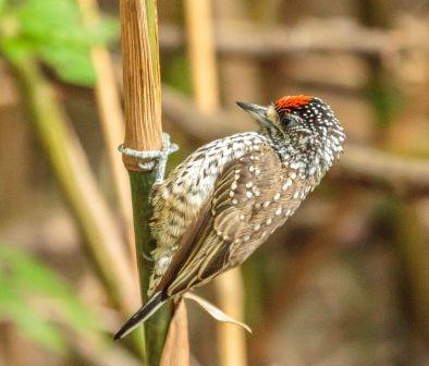 Pica-pau-anão-escamado (Picumnus albosquamatus) Parque Olhos d'água 17-2-2015 Márcio Rojas 1