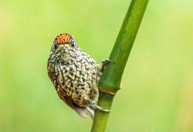 Pica-pau-anão-escamado (Picumnus albosquamatus) Parque Olhos d'água 17-2-2015 Márcio Rojas 7