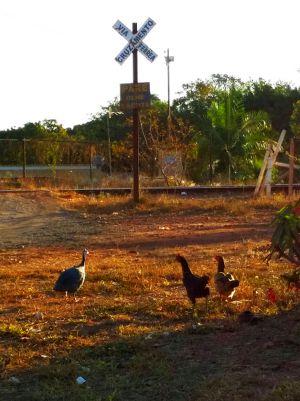 Alguns trechos da Ferrovia Brasília-São Paulo estão literalmente entregue às galinhas. Foto de Cgico Sant'Anna.