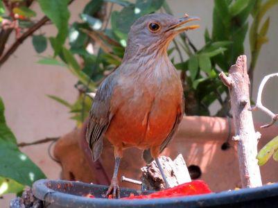 Sabiá-laranjeira em 15-07-2015, no jardim de casa Leninha Caldas2