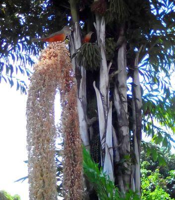 Sabiá-laranjeira no coqueiro Rita 2