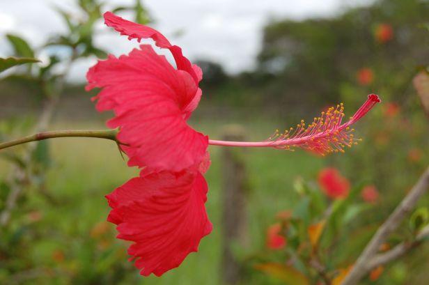 Flor de hibisco Primavera 2008