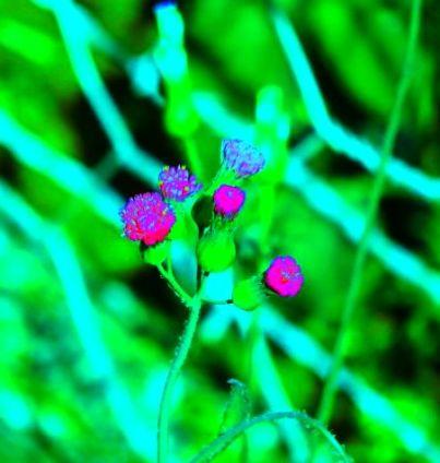 flor-chacara-1